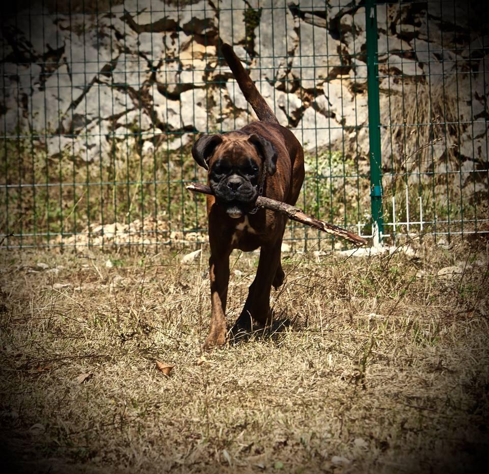 Falcon, Mâle boxer, 6 ans