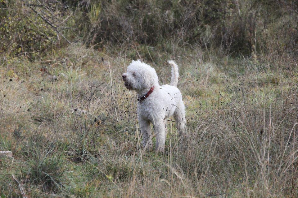 Dona, Lagotto romagnolo, 2 ans, Biot
