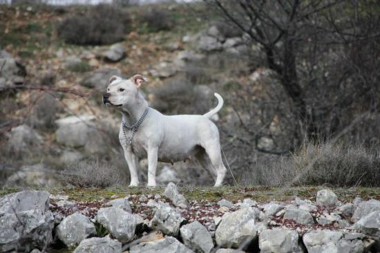 staffordshire bull terrier / staffie blanc - chiots 2013 - PACA