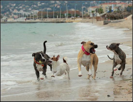 chiens de catégorie 1 et 2 - formation  permis de détention 06