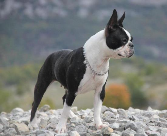 Good Idea des Gardiens du Bois Clerbault - Boston terrier - CACS / CACIB / BOB / Marseille 2012