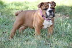 chiots bulldog anglais rouge 06 PACA 2014