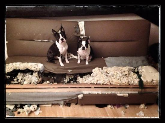 chiens destructeurs boston terrier